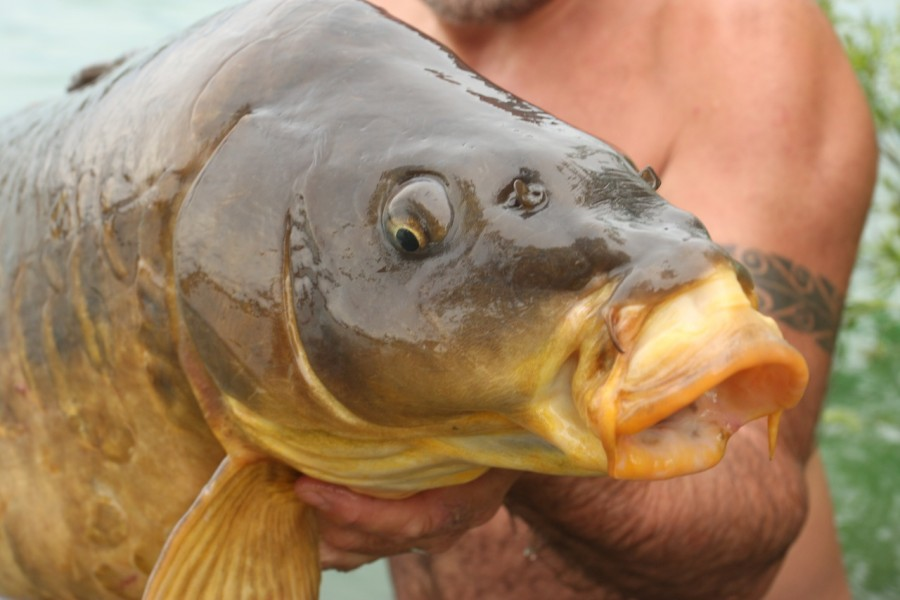 Gigantica carp have perfect mouths